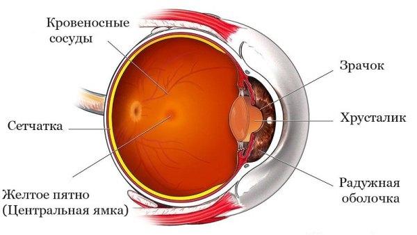 сетчатка глаза человека